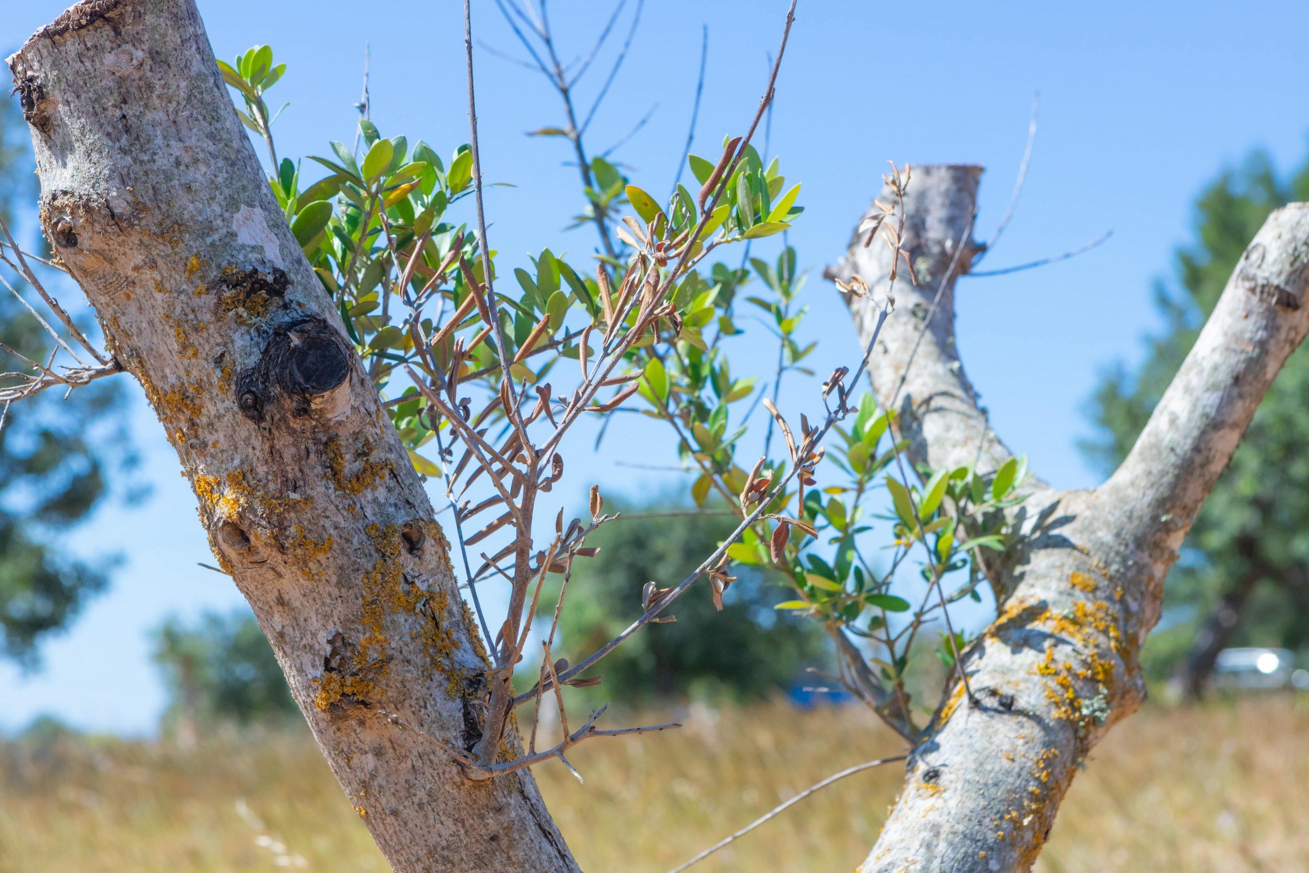 xylella fastidiosa symtoms