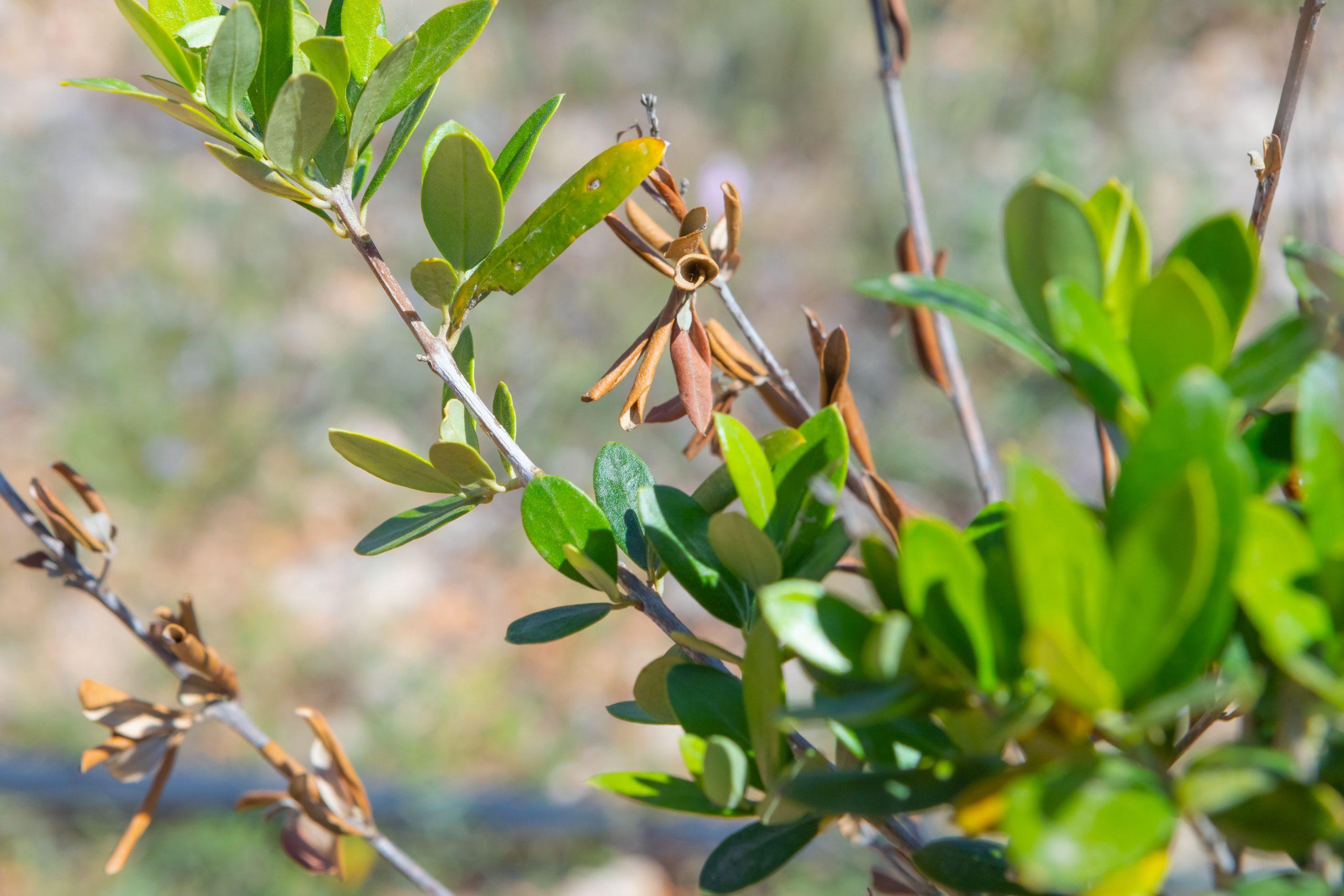 what is xylella fastidiosa