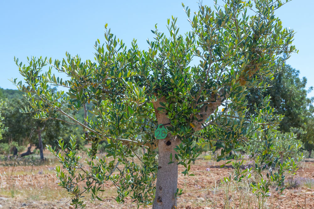 xylella fastidiosa symptoms