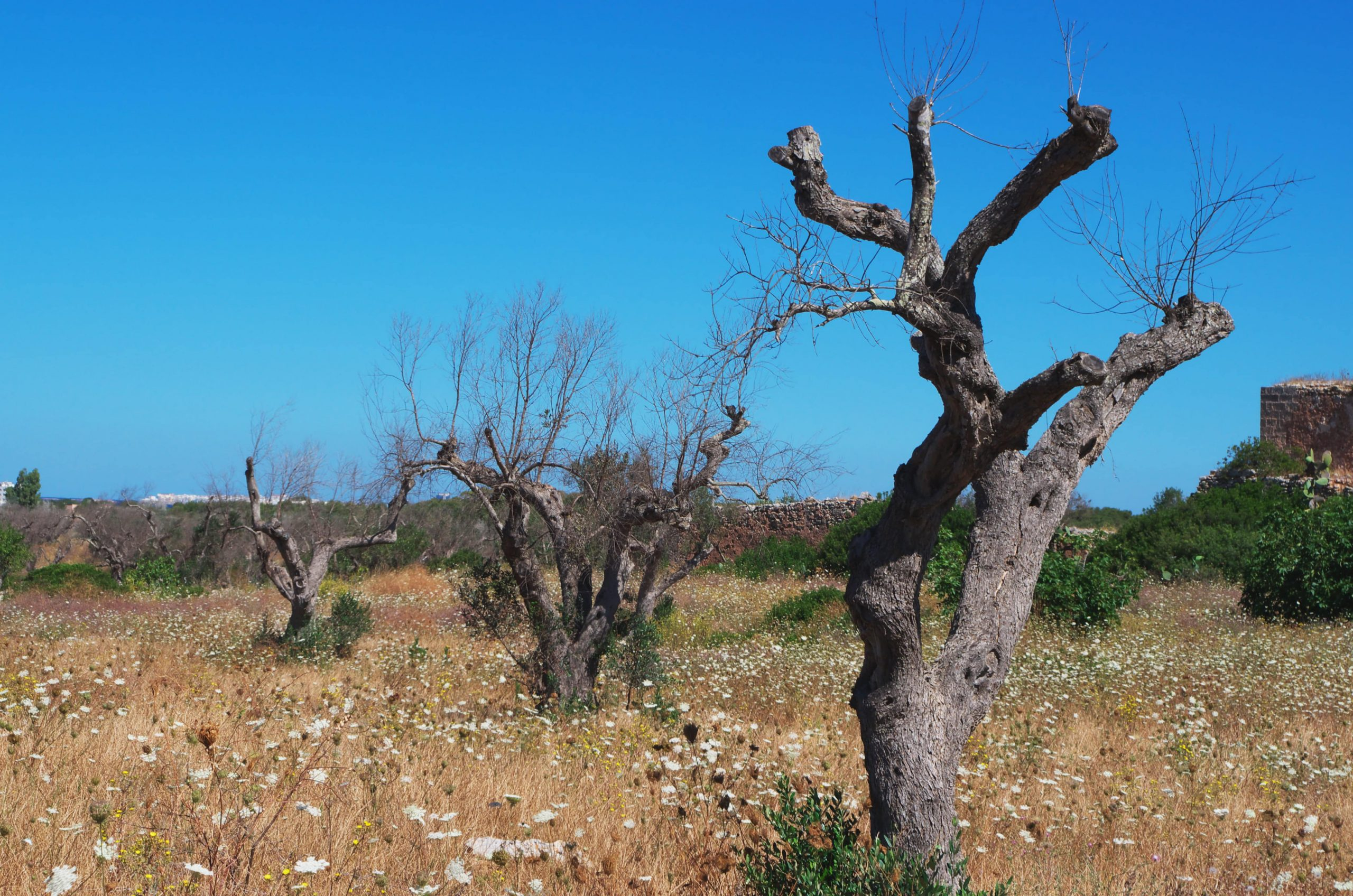 threat of xylella in Europe