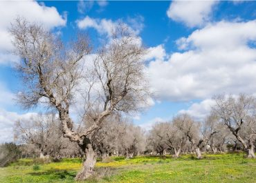 Dangerous Xylella fastidiosa in Occitanie - 'Olive killer' found for the 1st time in lavender in this region!