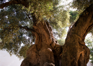 Xylella fastidiosa threatens 1000-year-old monumental olive trees in Europe