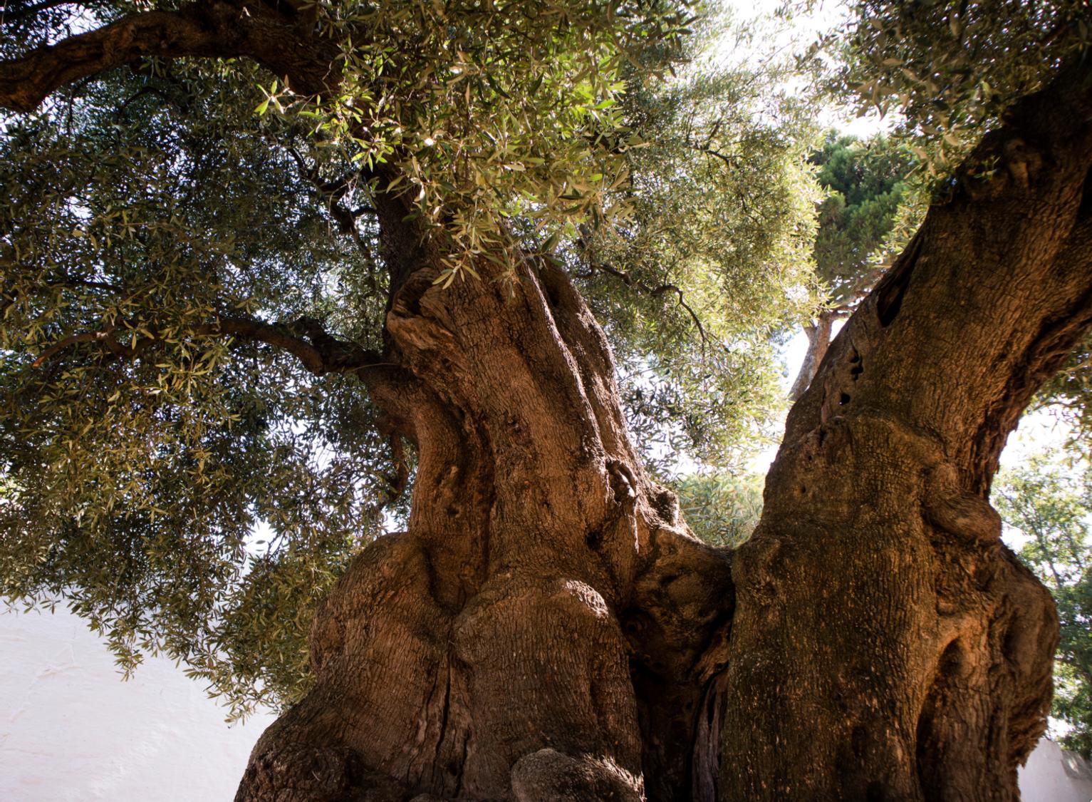 olive tree xylella