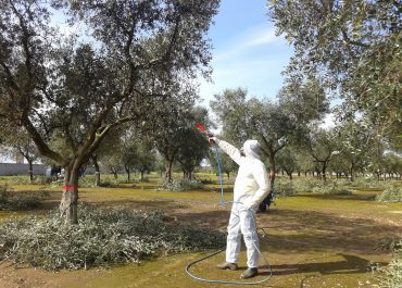 Xylella control and prevention: Can Europe's olive production survive the disaster?